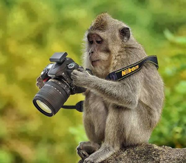 Funny-Monkey-And-Camera-Wallpapers-600x525